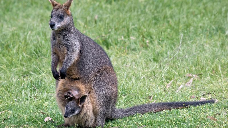 canguro wallaby