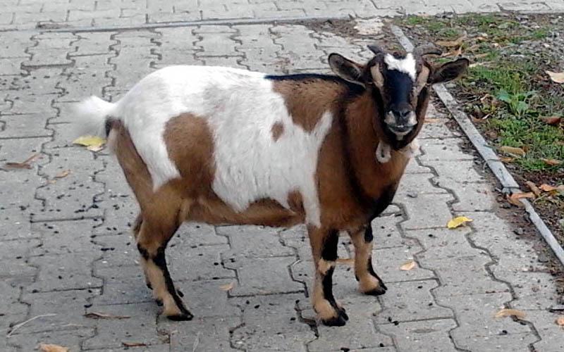 capra nana