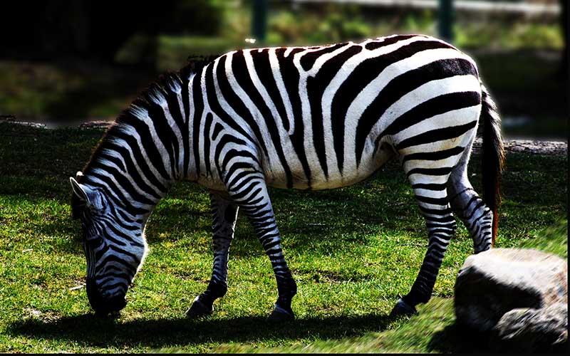zebra zoo abruzzo