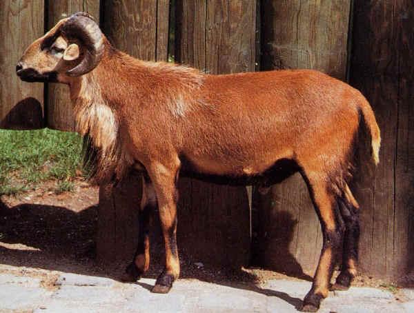 pecora del camerun